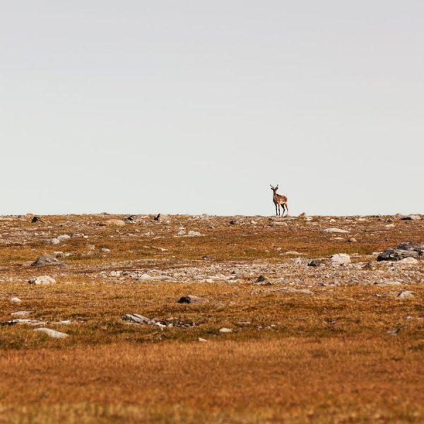 Nunavik - Wild life